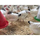 Sussex Ranger Chickens