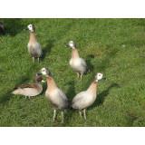 Silver White Faced Whistling Ducks