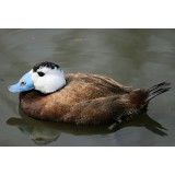 White Headed Duck