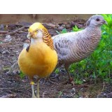Yellow Golden Pheasants